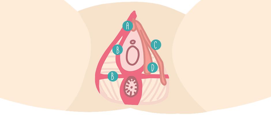 Fuer den Frauenorgasmus den Aufbau von Klitoris und Beckenboden verstehen